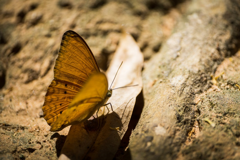 a butterfly we walked by on our jungle hike. Marie Baersch, Sony a6000, Zeiss Touit 2.8/50mm.